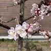 【今日撮った写真】梅の花が咲いていました