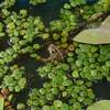 我が家のハス池はビオトープ