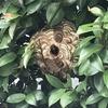 湖西市で庭の木にできたスズメバチの巣を退治してきました!