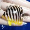 【現物22】シマヤッコ 6cm± ! 海水魚 生体 15時までのご注文で当日発送【ヤッコ】