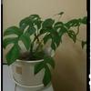 観葉植物モンステラ、驚異の生命力。