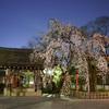 平野神社で魁桜を愛でる夜@2021