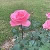 今年の薔薇/植物の再生