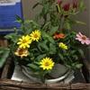 明日から9月 暦の上では秋ですね。新しくお花を変えました。ジニアと唐辛子 皆様が和まされます様に向かえてくれます。