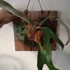 ついにダウボーイから貯水葉の新芽が出てきた!