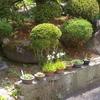 鷺草(サギソウ)