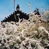 海龍王寺のユキヤナギ(3月下旬~4月上旬)