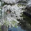 東京でお花見 ~江戸川公園と神田川~