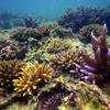 沖縄のサンゴ再生へ 移植続けて3万本