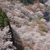 【写真】 吉野山 桜🌸