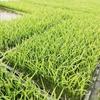 うす撒きプール育苗で農薬少ないイネ作り