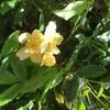 一重黄モッコウバラ咲く