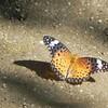 蝶 ツマグロヒョウモン Argyreus hyperbius