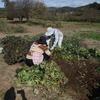 イノシシを出し抜いて安納芋収穫