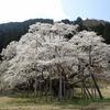 日本三大桜の一つ、岐阜「根尾谷淡墨桜」。樽見鉄道。