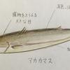 【魚紹介】秋の味覚 獰猛ハンター カマス