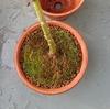 モミジ鉢植え植え替え2019