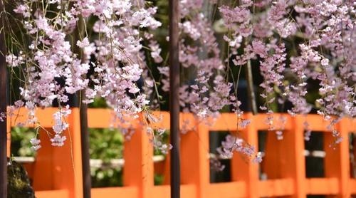 4月中旬でも間に合う!京都市内で楽しめる遅咲き桜スポット