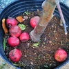 アルプス乙女りんごの木をGET