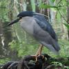 石神井公園の野鳥 キビタキ・アオゲラ他 2021年4月29日