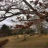 去年より十日は遅い三峰の桜