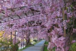 京都のプロに聞いた!写真家・中田昭さんおすすめの穴場桜スポット
