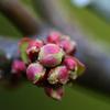 木瓜の花芽