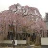 高楽寺 枝垂れ桜 ~鮮やかに咲き誇る「桜姫」~