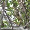下甑島の野鳥たち(2019 0422)