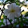 スノー・グースの開花と私のシークレット・ベランダ・ガーデン