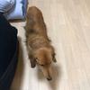 マロ、退院。自宅に酸素室を設置すると、咳が治まった