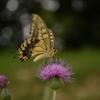 アゲハ蝶の観察
