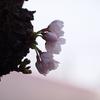 都心から休みの日にフラっといける桜スポットをいくつか。