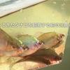 釣ってきた魚(タナゴ )を水槽で飼育する際の注意点と飼育の仕方!