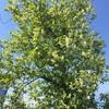 プルヌス ヴァージニアナの花