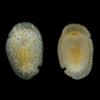 豊国崎海岸(6/30)で採集されたウミウシ類2種
