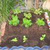 【家庭菜園】かつお菜を植えました。