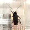 クロゴキブリ飼育日誌