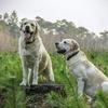 賢い犬ランキング 偏差値ベスト141位 秋田犬は105位、ゴールデンレトリバーは?