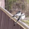 【野鳥】ハクセキレイは曇りなき眼で見据える。令和の行く先を・・・・・・。