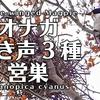 オナガの鳴き声3種と巣作り。地鳴き、警戒、さえずり?【野鳥鳴き声図鑑】Azure-winged Magpie / Cyanopica cyanus birdsong