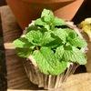 植木鉢のミント