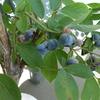 【ベランダ菜園】ブルーベリーが大収穫祭〜