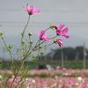 【写真加工】花(コスモス)を咲かす