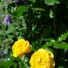 紫のクレマチスと黄色のバラの組み合わせ