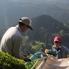 4月30日、新茶を収穫しました!
