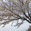 育休78日目  お花見2