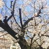 池袋の桜は...