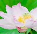「花戦さ」少しネタバレ&蓮の開花する音を聞きたい