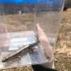 トカゲ採り